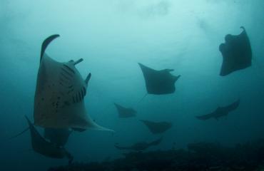 Manta's in de Malediven