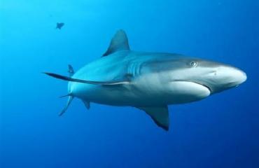 In beeld: Parende haaien