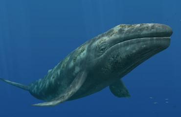Grijze walvis legt recordafstand af