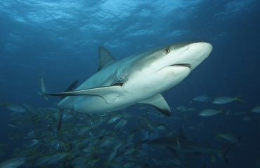 Campagne Save our Sharks van start