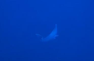 Hans Pleij - Twee dagen duiken, twee manta's