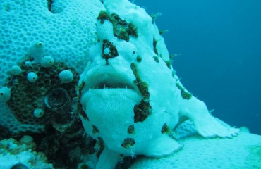 Hengelaarsvis bleekt mee tijdens coral bleaching