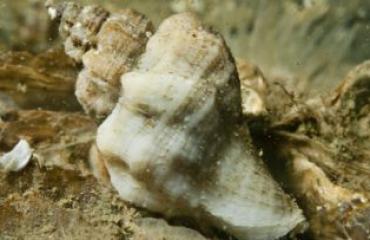 Is de Japanse stekelhoorn een bedreiging voor onze oesters?