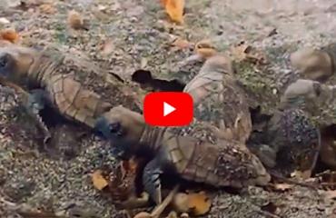 In beeld: schildpadjes verlaten het nest