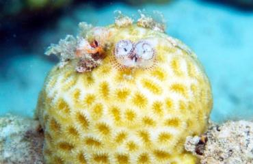 Nieuwe ontdekkingen over relaties tussen gastheerkoraal, krabben en kerstboomwormen