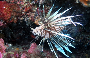 Ronald Faber - Koraalduivel in de Middellandse Zee