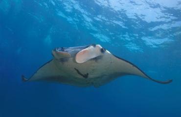 Kijkje onder water - Manta's