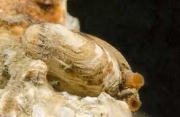 Wat doen rotsboorders op onze zanderige kust?