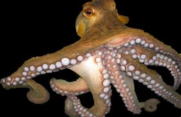 Octopus neemt licht waar met huid