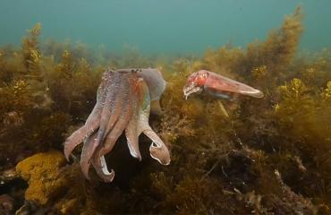 In beeld: Spectaculaire beelden van paring sepia en pijlinktvis