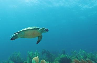 Zeeschildpadden leggen hun eieren het liefst op aangeharkte stranden