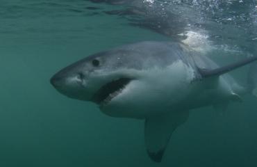 Hé, een witte haai!