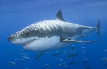 Witte haai in kooi - dit gebeurde er...