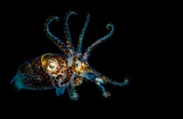 John Landa - Een schitterende sepiola