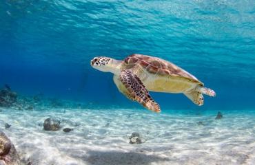 Primeur: zeeschildpaddenspeurhond voor Bonaire