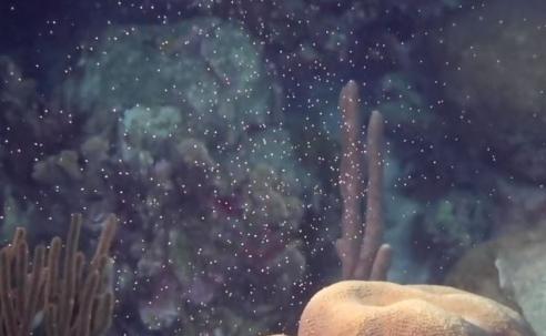 In beeld - Coral spawning bij Bonaire