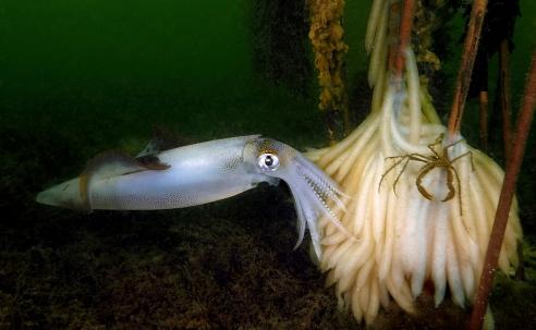 Pijlinktvissen in de Oosterschelde - Het verhaal achter de foto