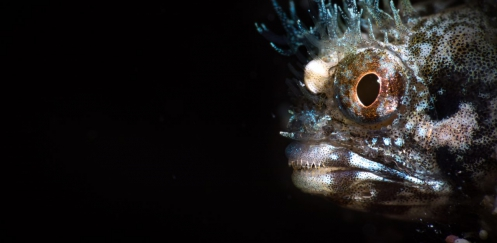 Joost Boerman - Roughhead Blenny