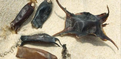 Haaien- en roggeneieren zoeken met Pasen