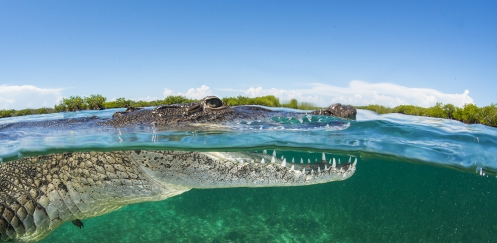 Zoutwaterkrokodil - Het verhaal achter de foto