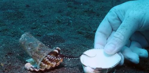 Duikers helpen octopus verhuizen