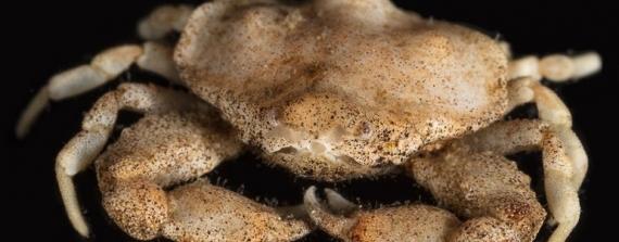 Eerste inheemse vondst van gladde kiezelkrab in Nederlands kustgebied