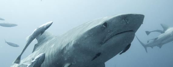 Tijgerhaai. Guido Leurs/Save Our Sharks