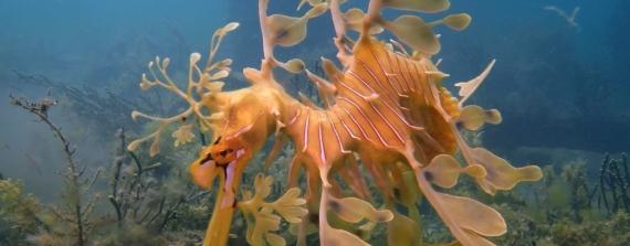 Leafy Seadragons: duiken bij Adelaide