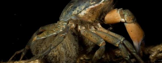 Live beelden van een krabbenmoeder