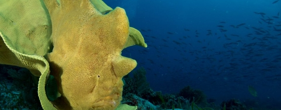 Sandra Boerlage - Frogfishes, froghfishes, froghfishes