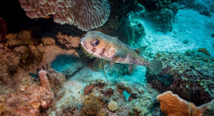Martin Cordes - Pufferfish