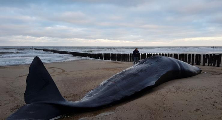 13,5 meter lange potvis aangespoeld op strand Domburg