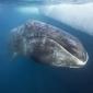 Walvissen scrubben huid in ondiep kustwater