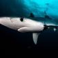 Haaien in de Middellandse Zee bedreigd door overbevissing