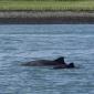 Eerste bruinviskalf van het jaar gespot