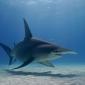 Daan van Schaik - Duiken met haaien in Bimini