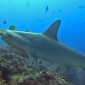 Joeri De Paepe - Haaien op Cocos Island
