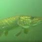 Malini Witlox - Topduik in het zoete water van de Nionplas