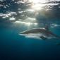 Caribische zaagvissen en zijdehaaien krijgen extra bescherming
