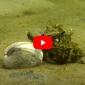 Verhaaltjes uit de Noordzee - Stekelhoorn besluipt prooi