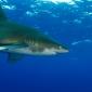 Christiaan Van Roeyen - Spannende haaienduik