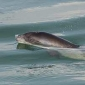 Bruinvissen stranden vaak door aanval van grijze zeehond