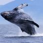 WOII veroorzaakte stress bij walvissen