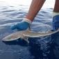 Nieuwe haaiensoort in diepzee ontdekt