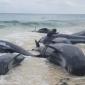 Opvallend veel grienden gestrand aan Australische kust