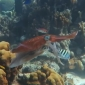 Mieke Mombers - Parende pijlinktvissen bij Bonaire