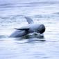 Er is weer hoop voor Irrawaddidolfijnen