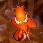 Leefgebied Nemo wordt bedreigd