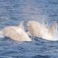 Twee witte orka's gespot!