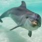 Mannetjesdolfijnen geven cadeautjes aan vrouwtjes
